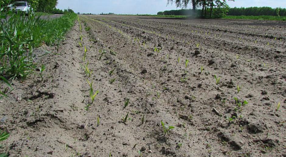 Areał uprawy kukurydzy ok. mln ha, siewów jeszcze nie ma