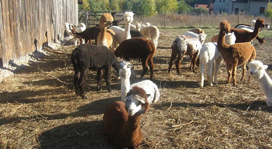 Alpaki rentowne i ekologiczne