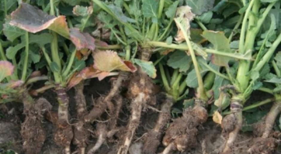 Plantacje rzepaku likwidowane z powodu kiły