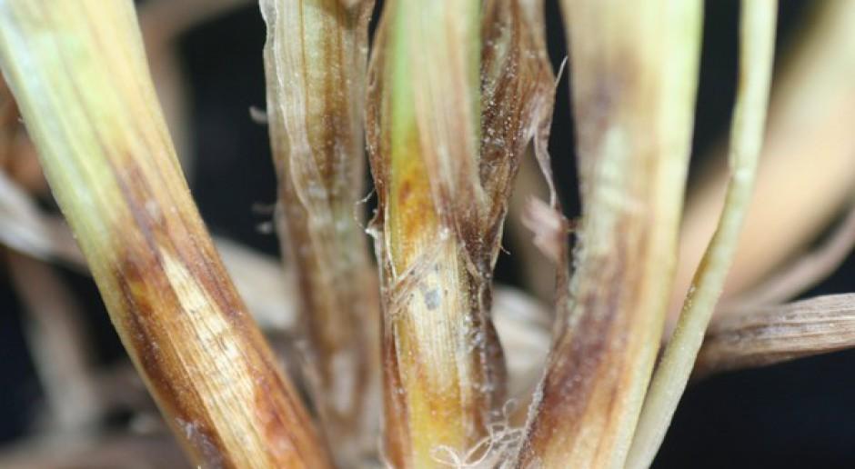 Łamliwość źdźbła zbóż i traw zagraża plantacjom pszenicy ozimej