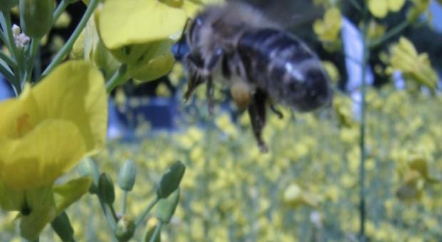 Greenpeace zapomniał o warrozie, a zwala winę na pestycydy