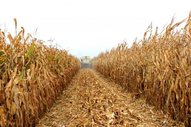 Ukraina decyduje o cenie kukurydzy