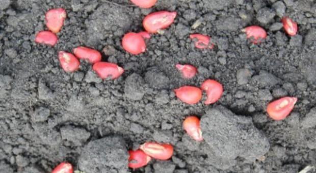 Dziki wyjadają nasiona kukurydzy – zgłoś szkodę