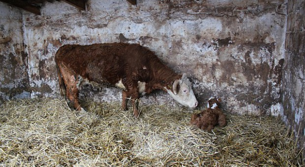 Znany termin Walnego dla producentów bydła mięsnego