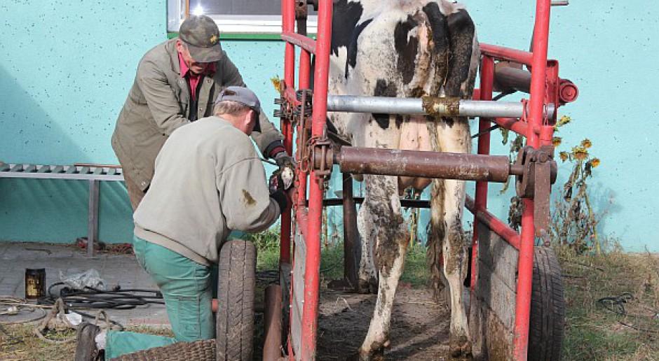 Poskramianie – komfort krowy i korektora