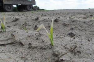 Ploniarka zbożówka w młodej kukurydzy