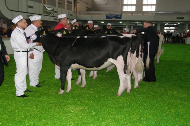 Młode czempionki polskiej hodowli bydła
