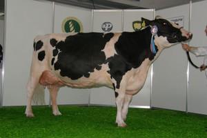 Pokrój krów najlepszy po buhajach z USA