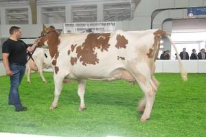 Zmiana lidera wśród krów PHF odmiany RW
