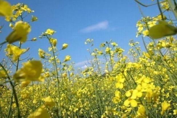 Odmiany rzepaku o zwiększonej odporności na kiłę kapusty