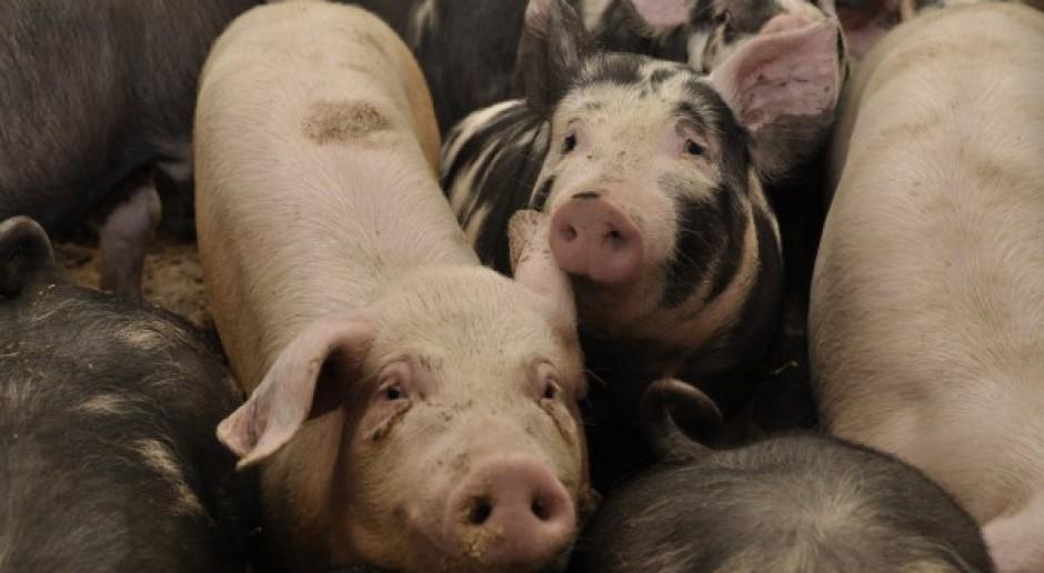 Nierealny program dla większości producentów świń