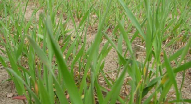 Nowe odmiany zbóż jarych w Krajowym Rejestrze