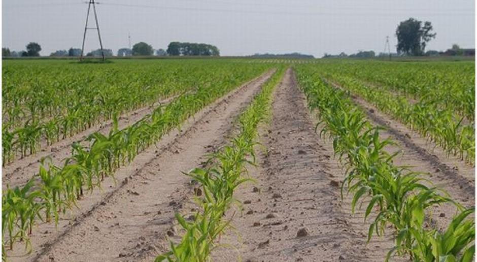 Azotem pogłównie w kukurydzy