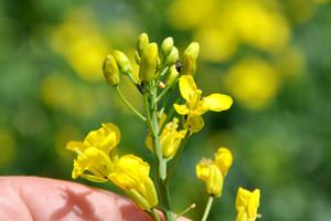 Acetamipryd w mieszaninie z fungicydami