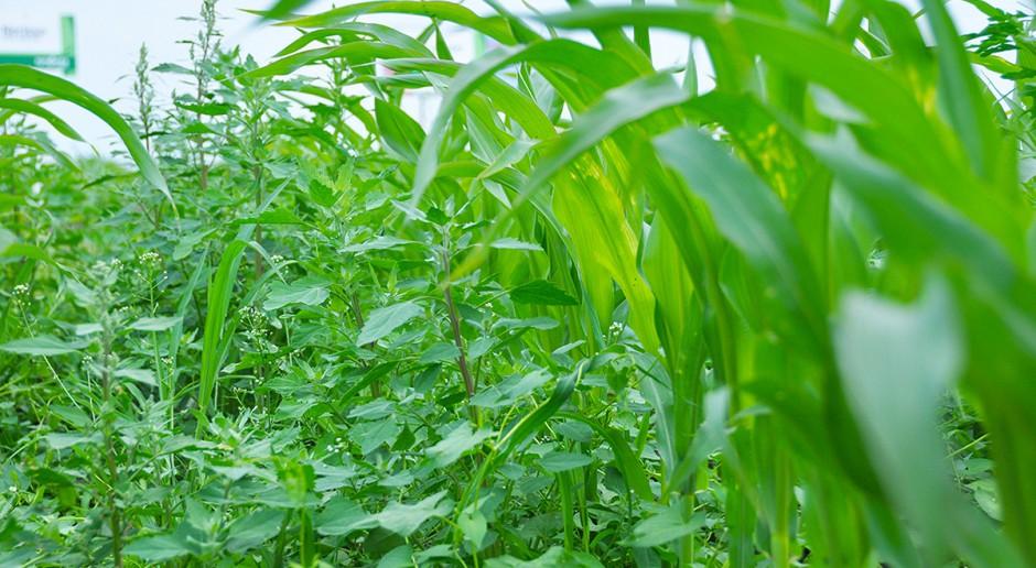 Awaryjne odchwaszczanie kukurydzy