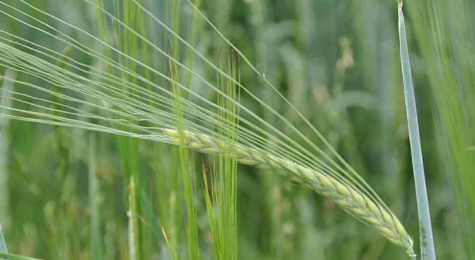 Późne odchwaszczanie zbóż jarych