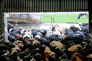 Komponenty do krzyżówek mlecznych