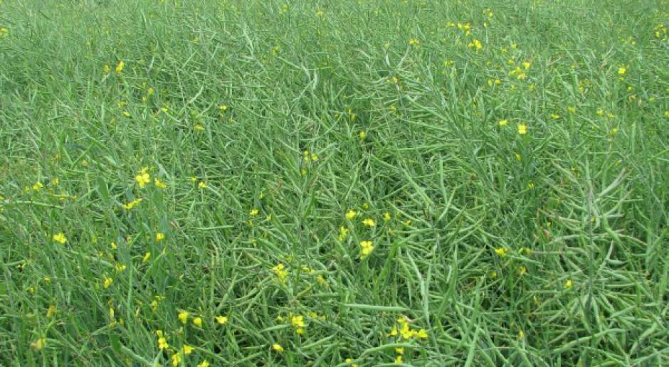 Rzepaki przekwitają – opady deszczu pomogły roślinom