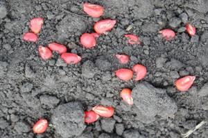 Zaoranie miejsc żerowania szkodników i dosianie kukurydzy