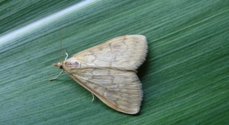 Pierwsze motyle omacnicy – ustaw pułapki feromonowe