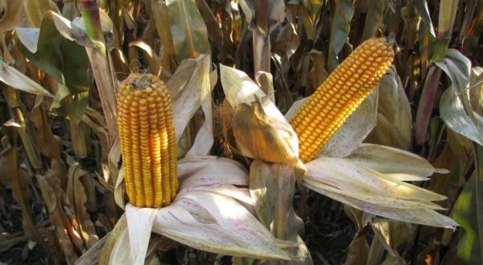 Redukcja prognozy zbiorów kukurydzy w Ameryce