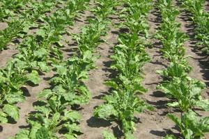 Ostrożnie z herbicydami w burakach