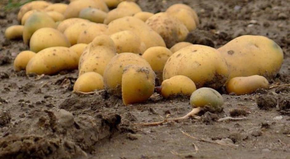 Zmiana zasad eksportu ziemniaka