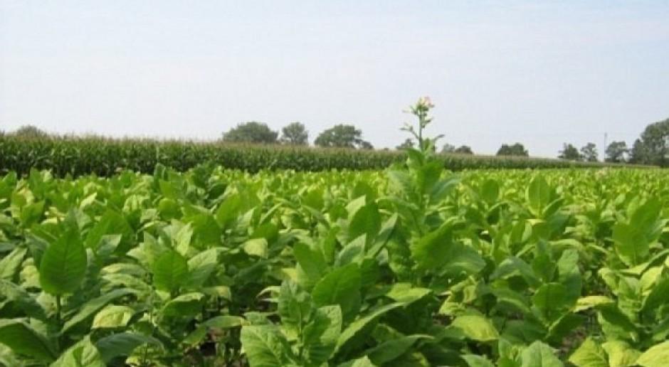 O dyrektywie tytoniowej - rolnictwo przeciwne