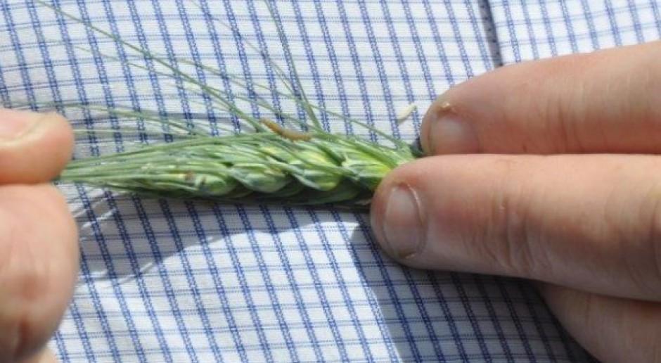 Zwójka - z upraw ogrodniczych w rolnicze