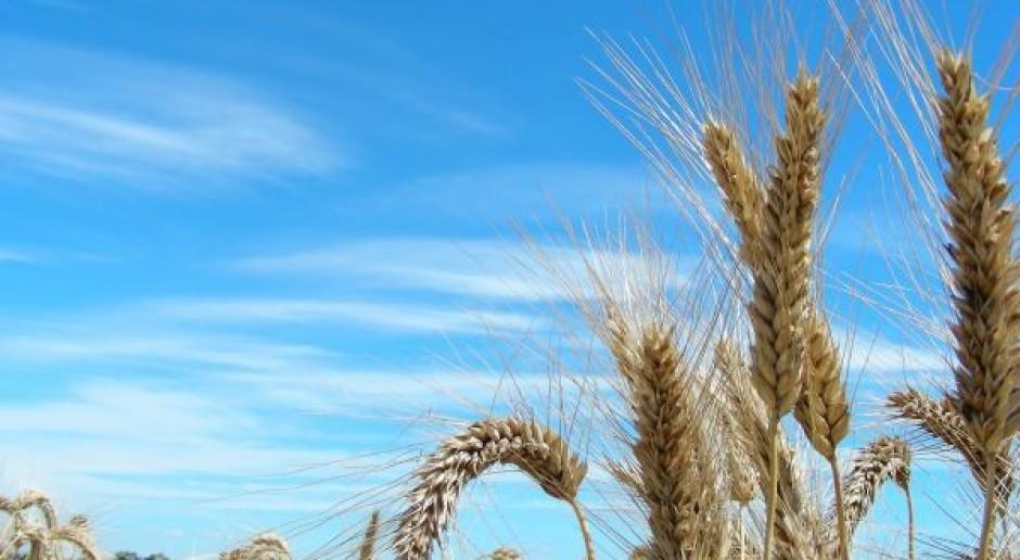 Ceny zbóż nadal spadają