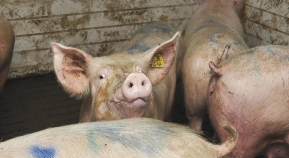 IW prosi o wsparcie KE w sprawie badań nad chorobami świń
