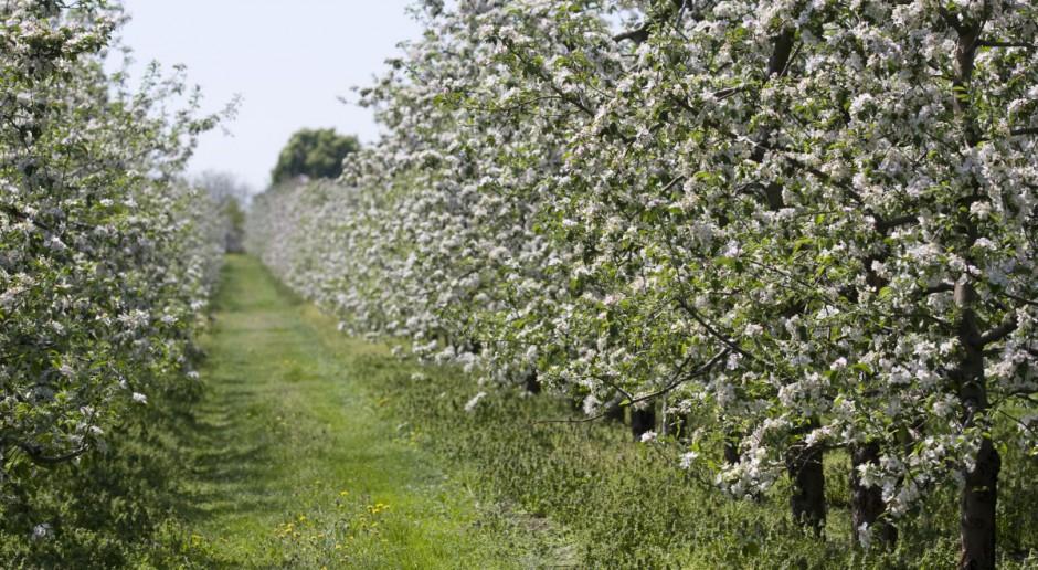 Brakuje siły roboczej do zbiorów owoców