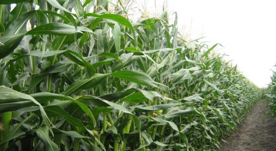 Późniejsze dojrzewanie kukurydzy