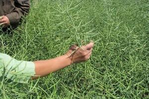 Zwrot na rynku rzepaku – nasiona delikatnie podrożały