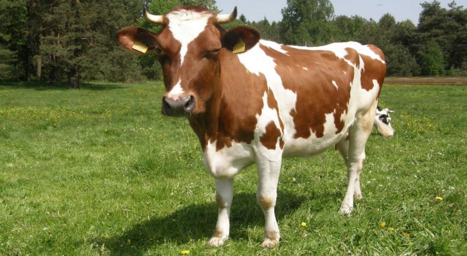 Inseminacja krów w upały