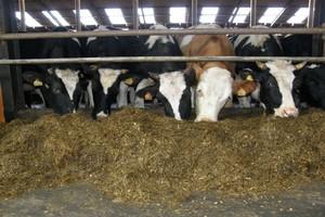 Żniwa dobiegają końca, a co w skupach bydła?