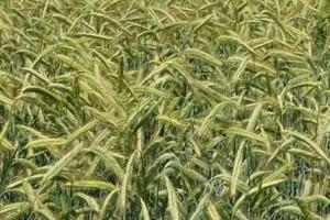 Nowe dołki notowań zbóż