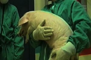 Hodowcy świń chronią stada przed ASF