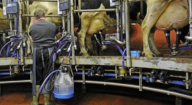 Duńskie krowy najwydajniejsze