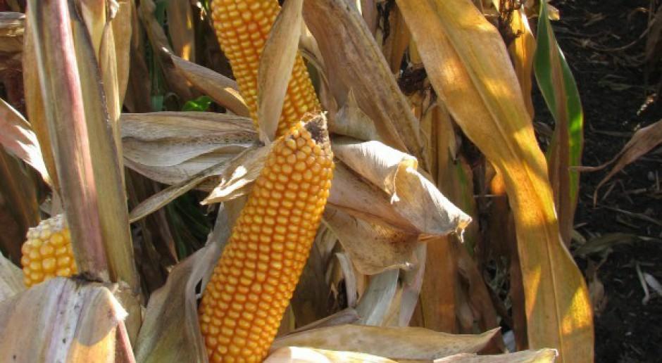 Rekordowe ilości kukurydzy w UE