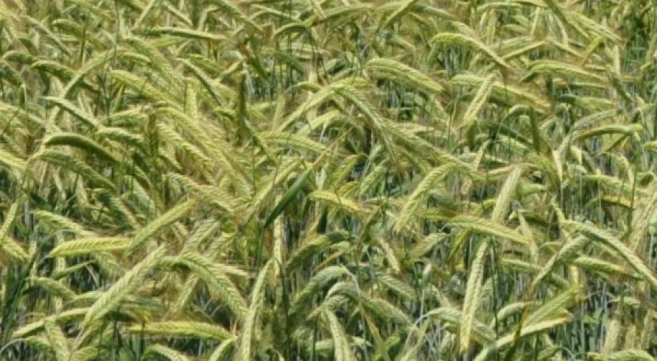 Niewielkie zmiany cen zbóż