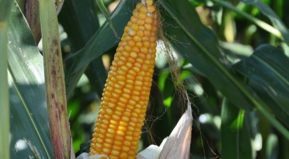 Na Mazowszu nie wykryto kukurydzy GMO