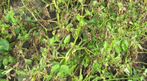 Susza rolnicza dla ziemniaka i roślin strączkowych