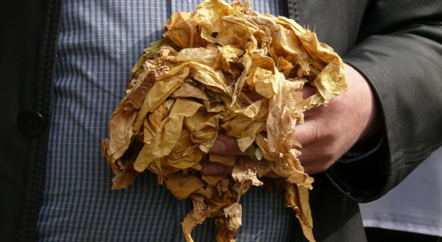 Uprawa tytoniu mało konkurencyjna