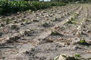 KZPBC: Plony buraków będą niższe