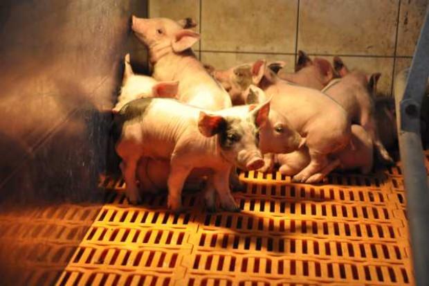 Import świń do Polski wzrósł aż o 40 proc.