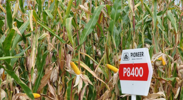 Pioneer – odmiany kukurydzy