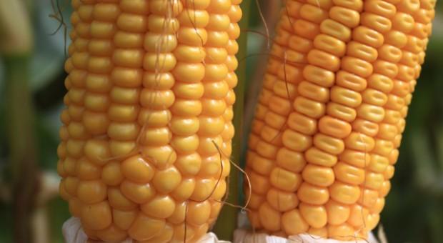 Niższe FAO kukurydzy coraz bardziej popularne