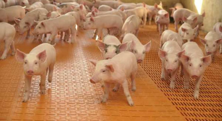 Spadek pogłowia świń - nieco wyhamował