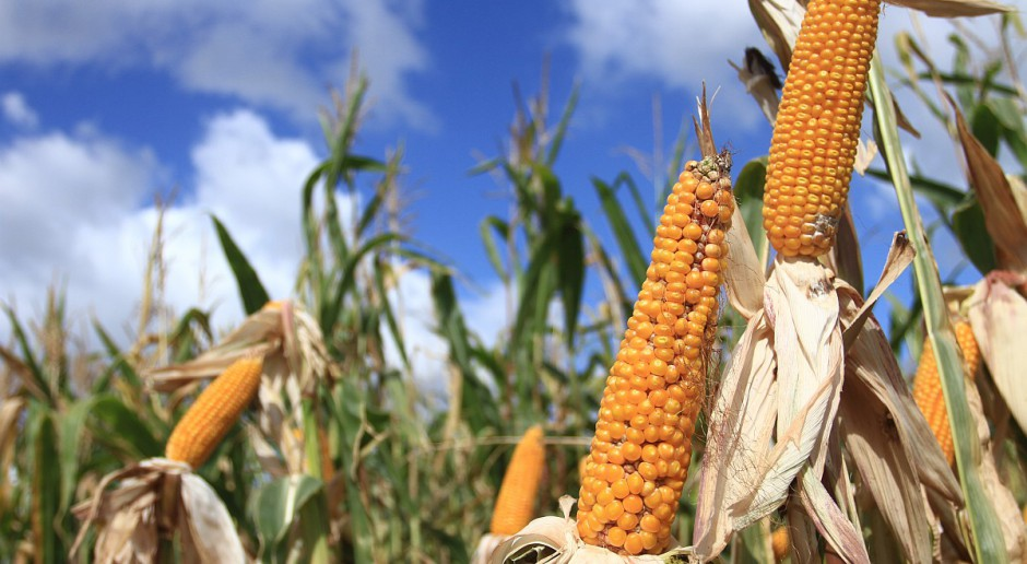 Na Podlasiu kukurydza kiszonkowa gnije